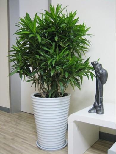 大型植物-百合竹.jpg