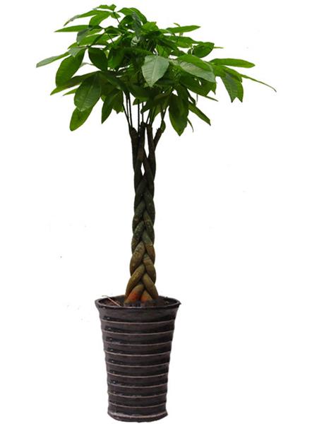 大型植物-编织发财树.jpg