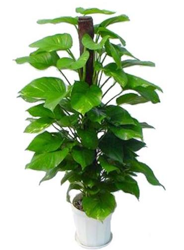 大型植物-大绿萝.jpg