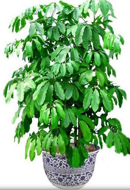 大型植物-大叶伞.jpg