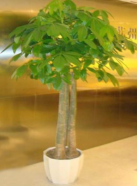 大型植物-多株发财树.jpg