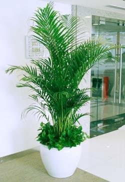 大型植物-国王椰子.jpg