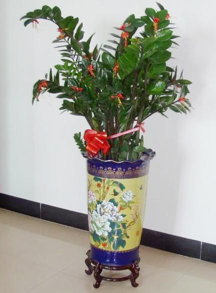 大型植物-金钱树.jpg