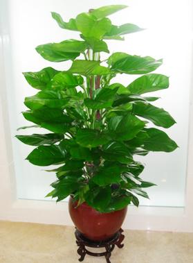 大型植物-绿萝.jpg