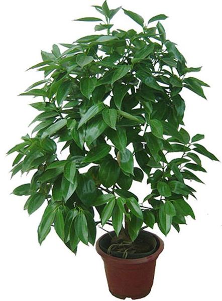 大型植物-平安树.jpg