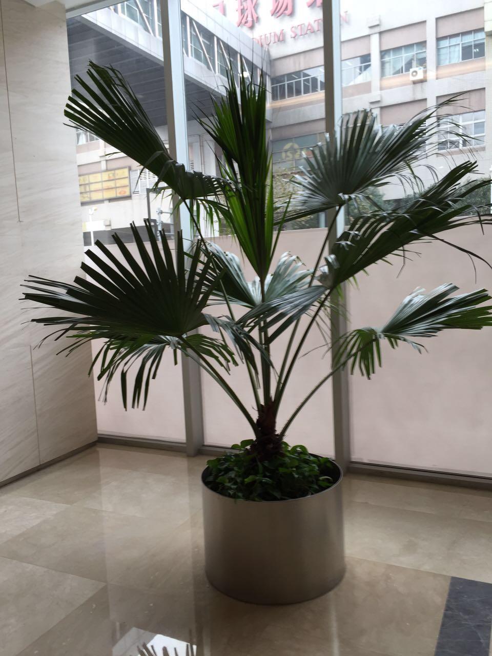 大型植物-蒲葵.jpg