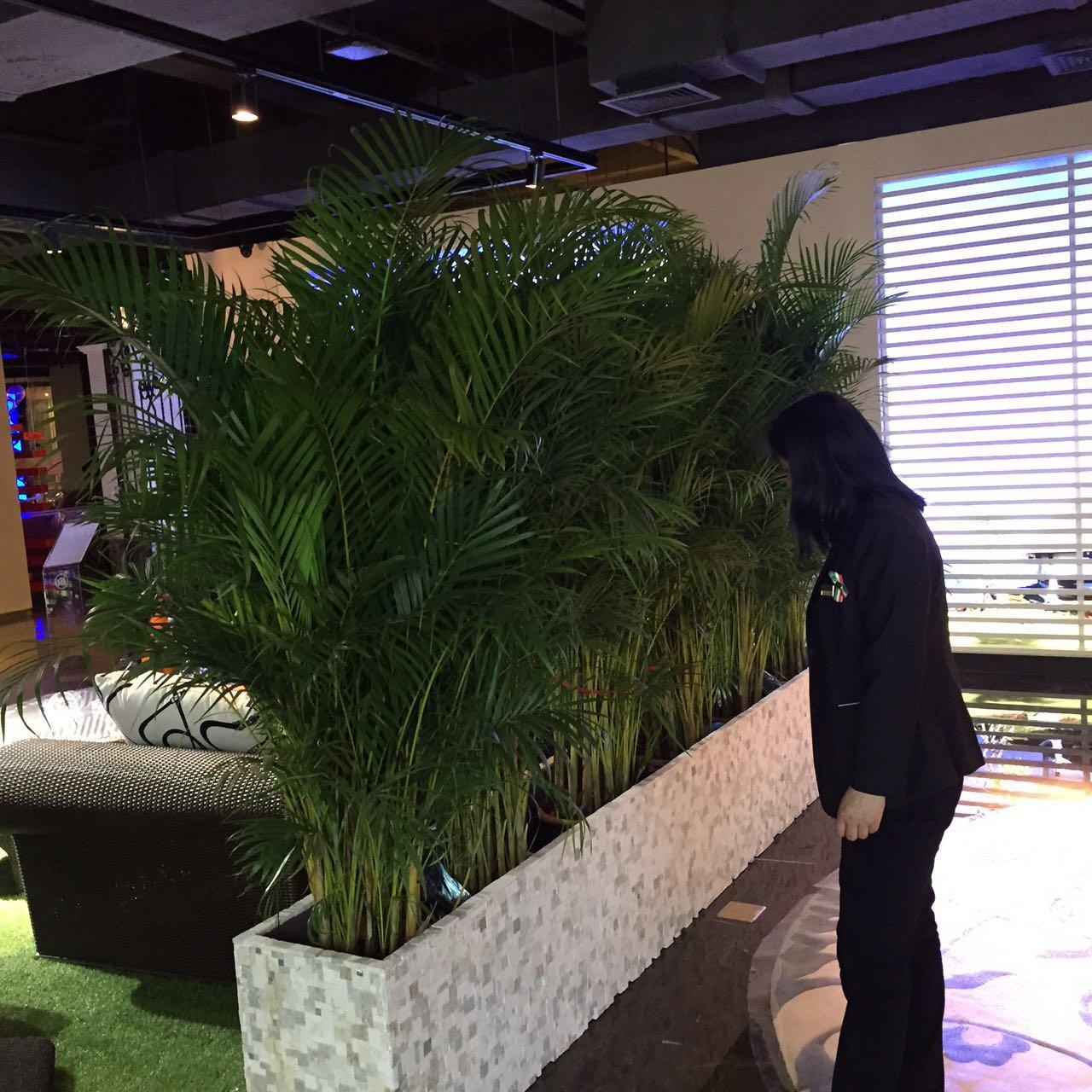 大型植物-散尾葵.jpg
