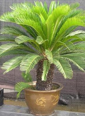 铁树|大型植物-重庆默航园林工程有限公司