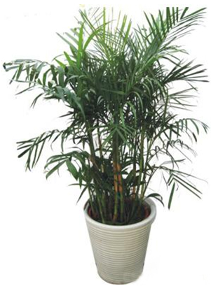 大型植物-夏威夷椰子.jpg