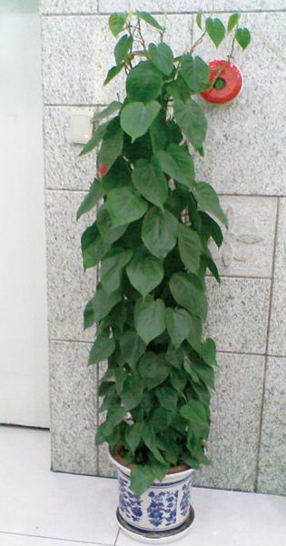 大型植物-心叶藤.jpg