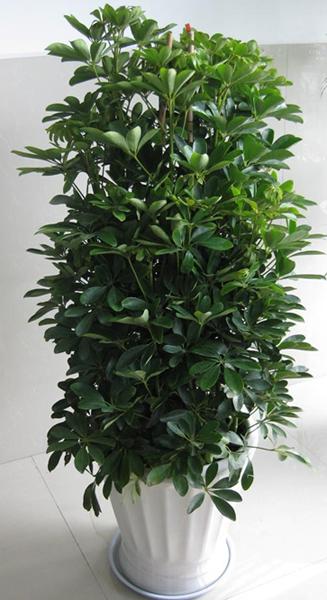 鸭脚木|大型植物-重庆默航园林工程有限公司