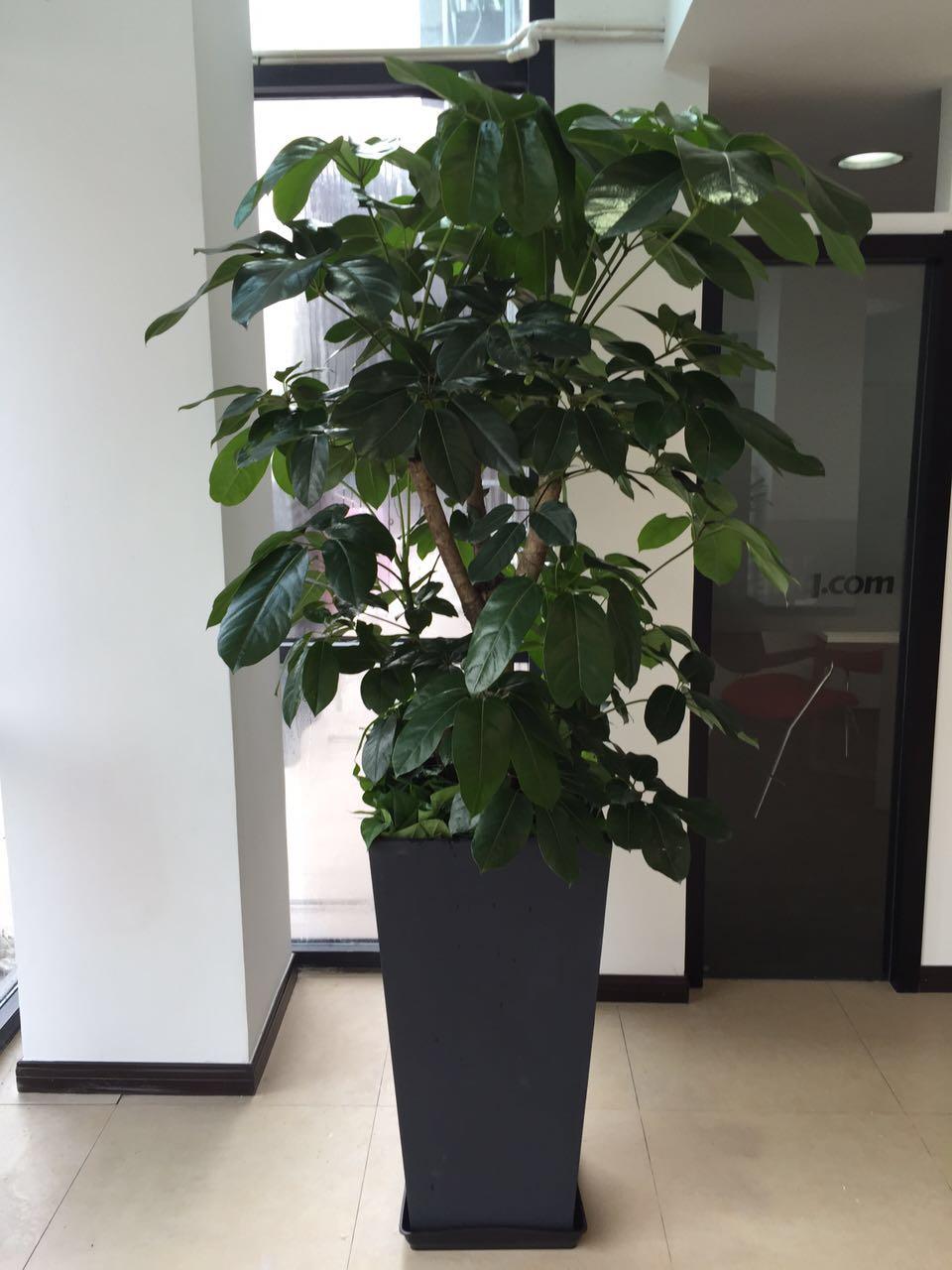 大型植物-摇钱树.jpg