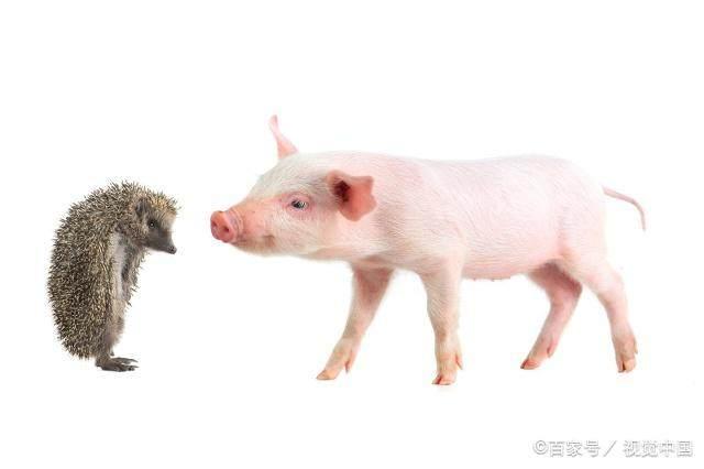 在猪饲料中添加这5种人常吃的调味料,能使仔猪日增重提高百分六