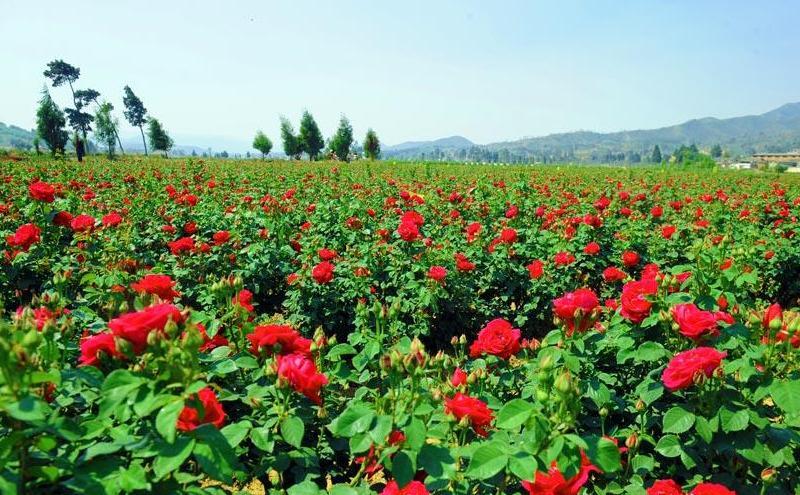 西北四季玫瑰
