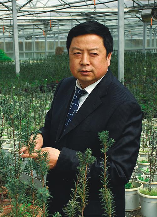 西安红豆杉
