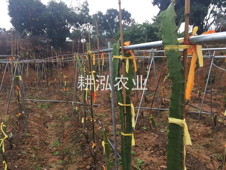 燕窝果种植基地