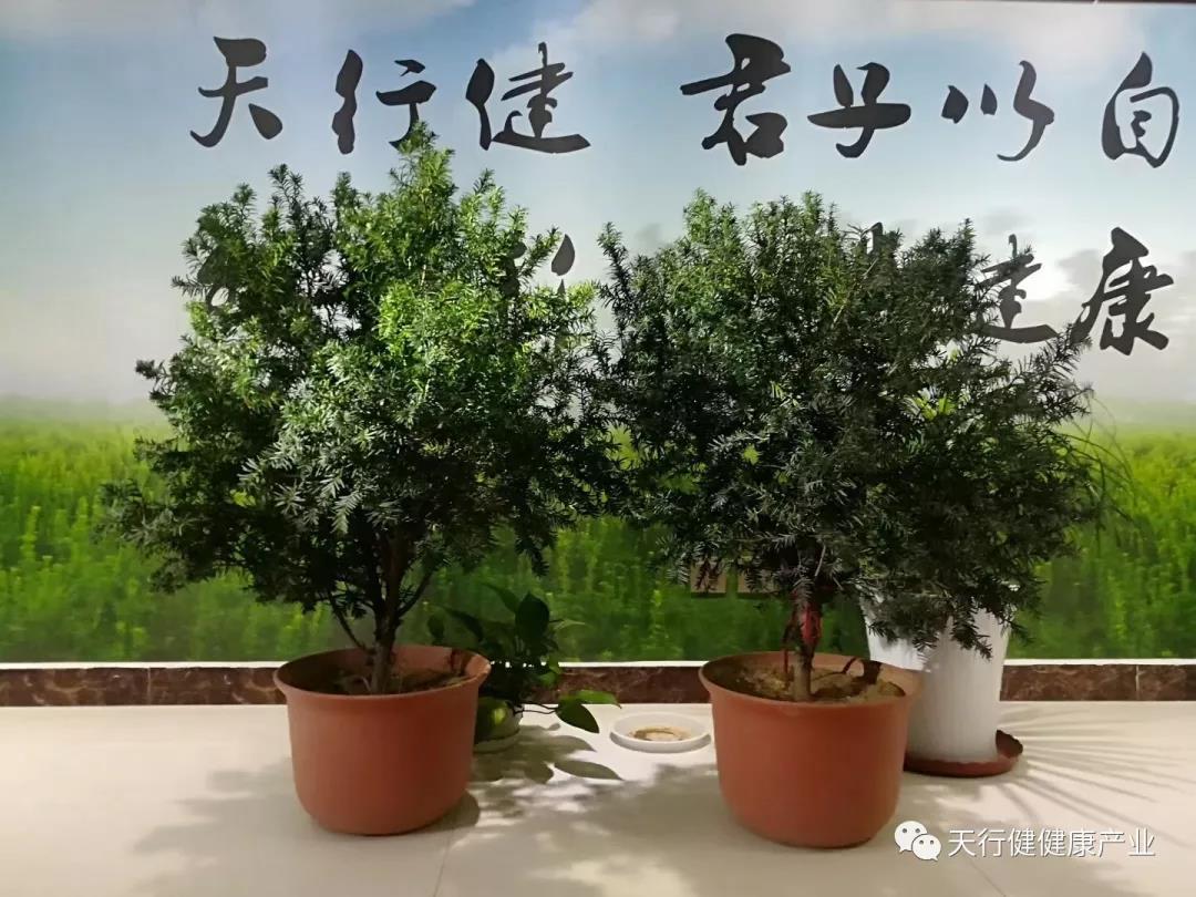 红豆杉盆栽