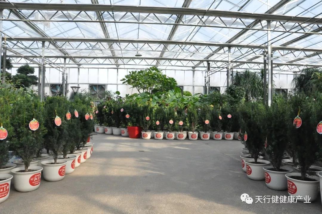 紅豆杉盆栽