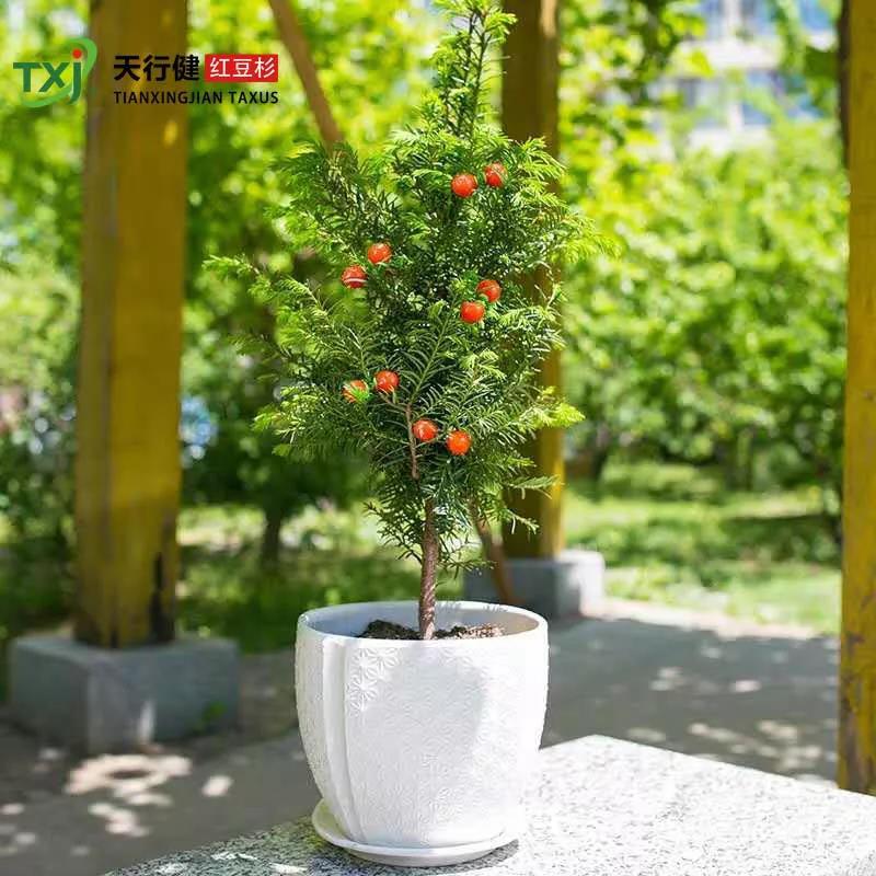 紅豆杉木材尊貴