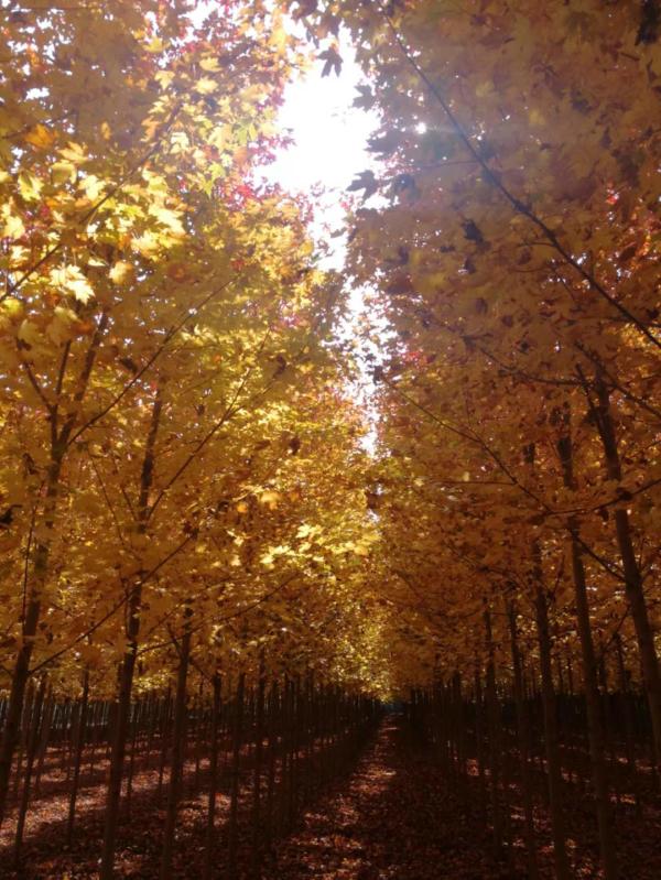 【加拿大糖槭】–会产糖的树