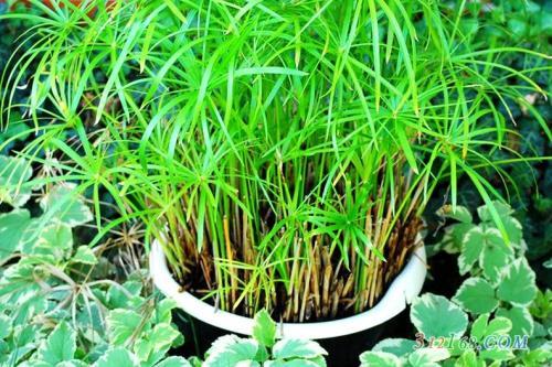盆栽旱伞草