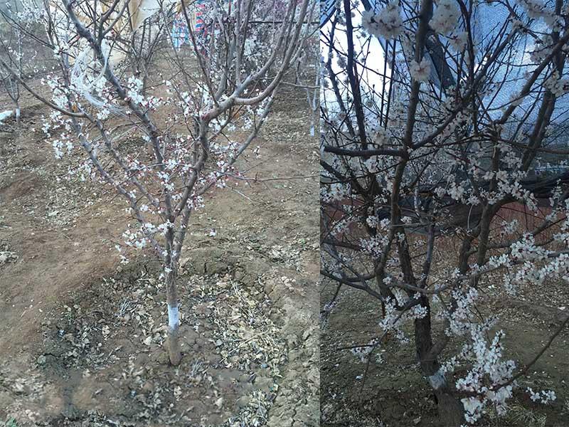 華北珍珠梅