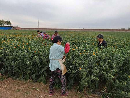 卫红花种植基地