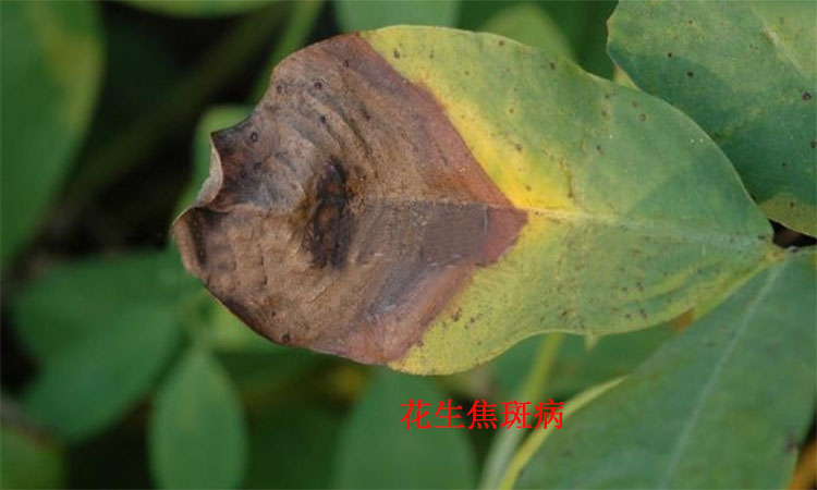 花生葉斑病