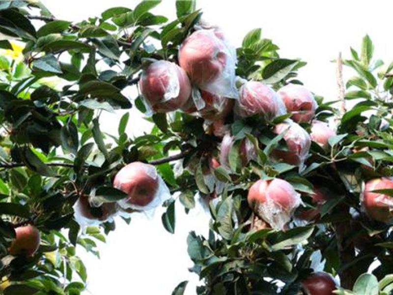 蜜脆苹果苗