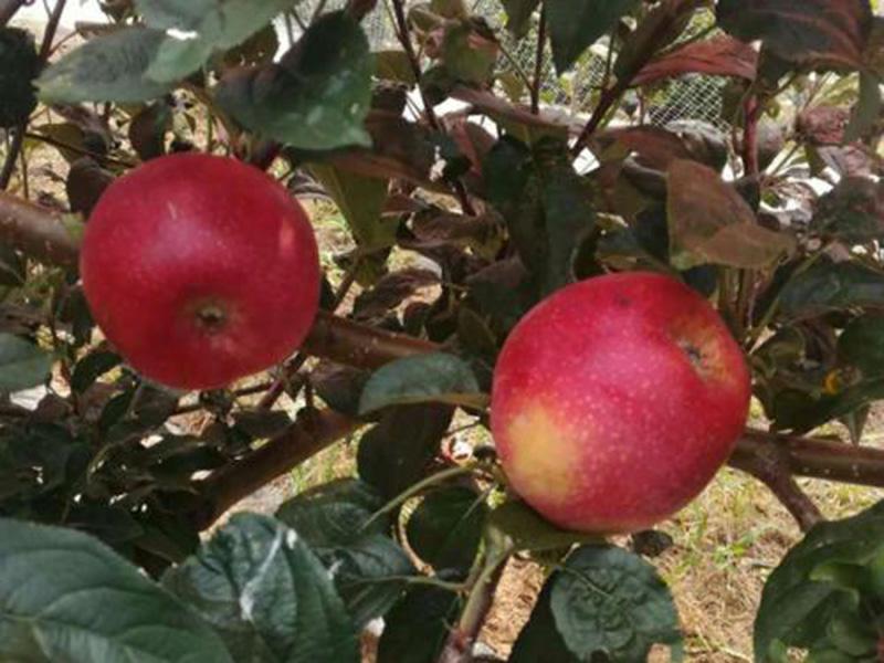鲁丽苹果苗价格