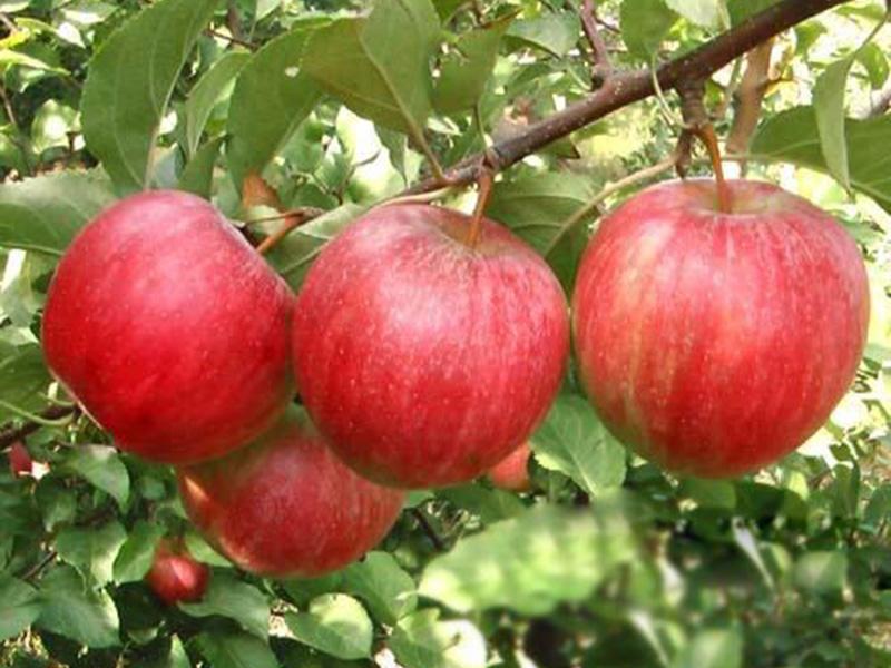 瑞阳苹果苗销售