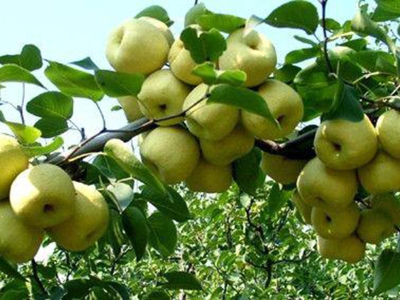 黄金梨树苗基地