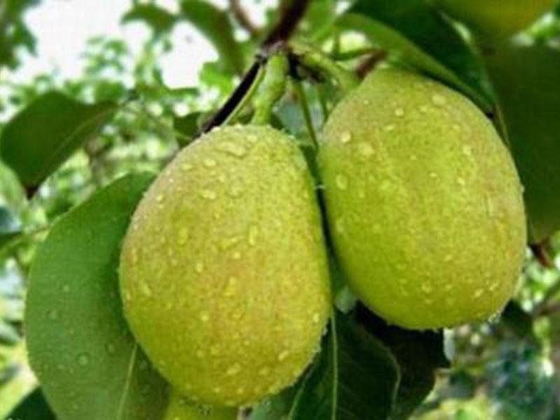 库尔勒香梨树苗价格