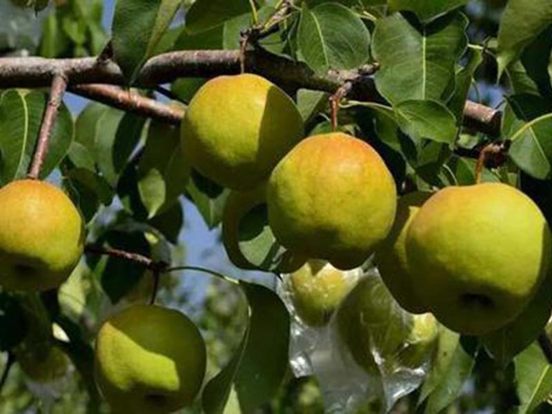 玉露香梨树苗价格