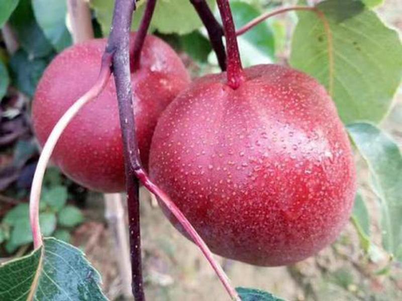全红梨树苗价格