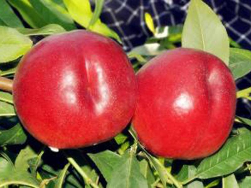 中油金冠桃树苗基地