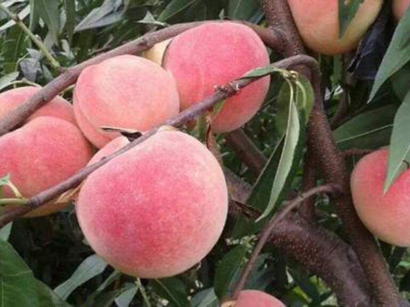 金秋红蜜桃树苗供应