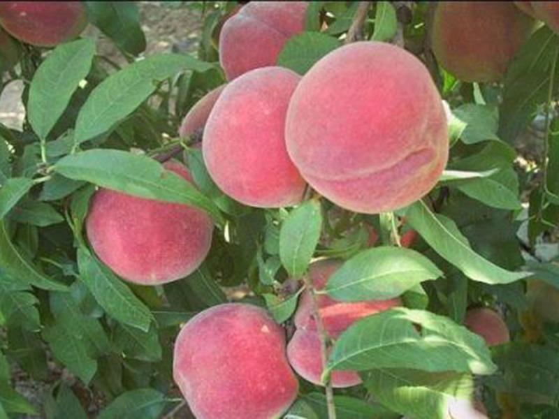 映霜红桃树苗基地