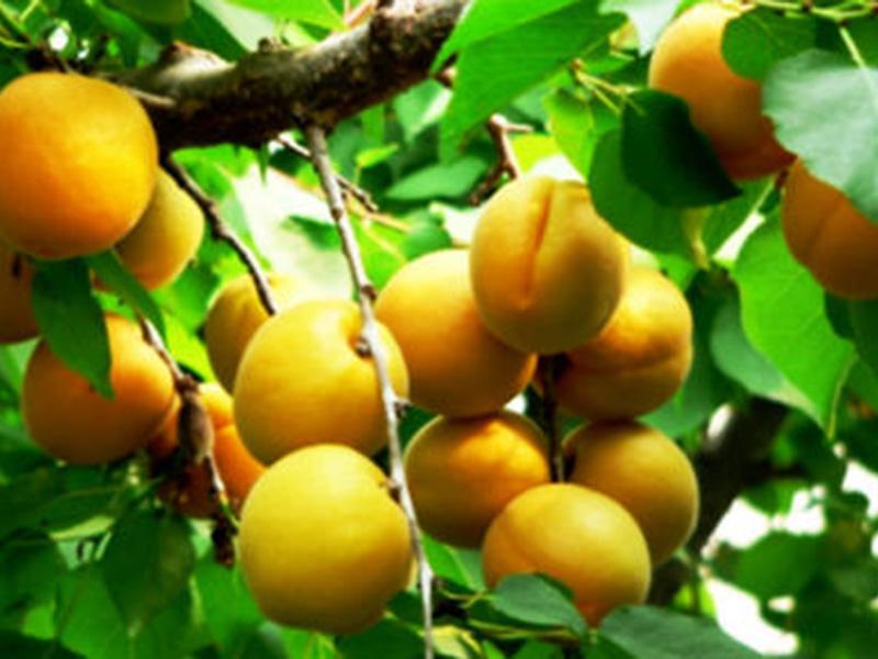 新世纪杏树苗基地