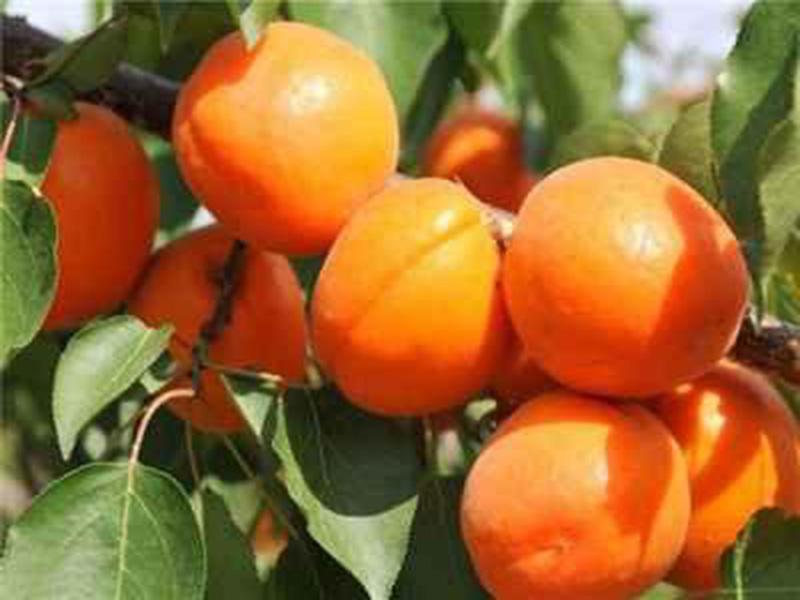 红丰杏树苗基地