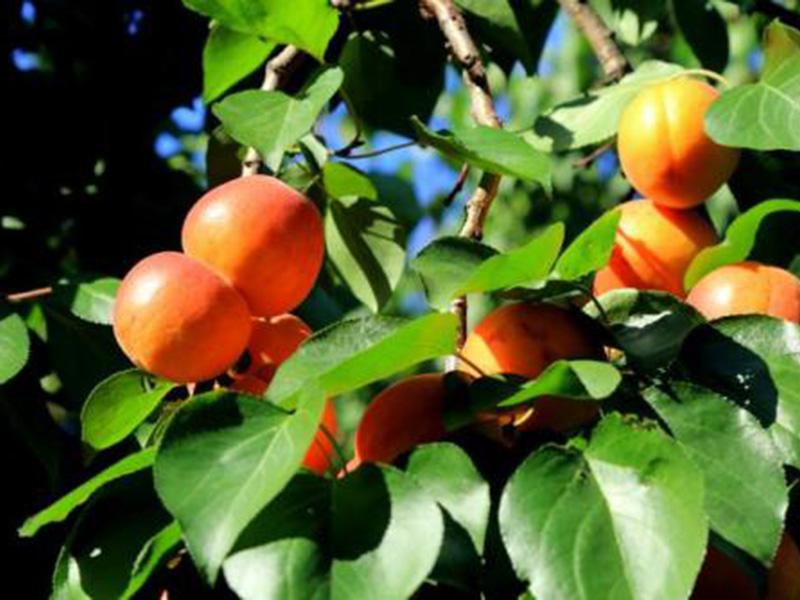 金红杏树苗基地
