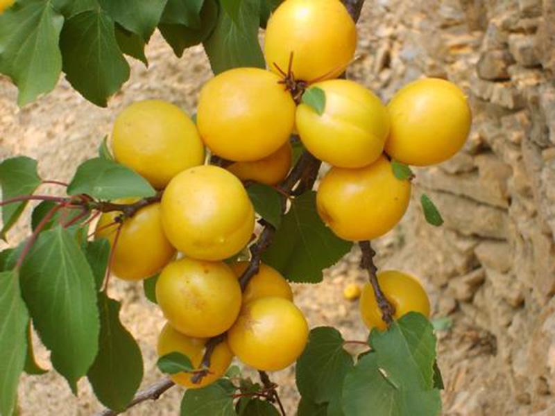 珍珠油杏树苗价格