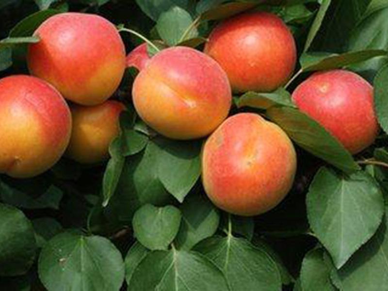 丰园红杏树苗基地