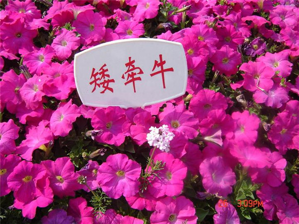 西藏花卉种子