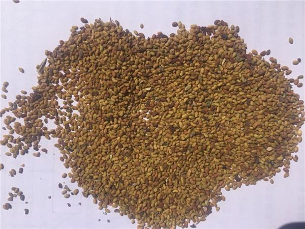 西藏牧草种子