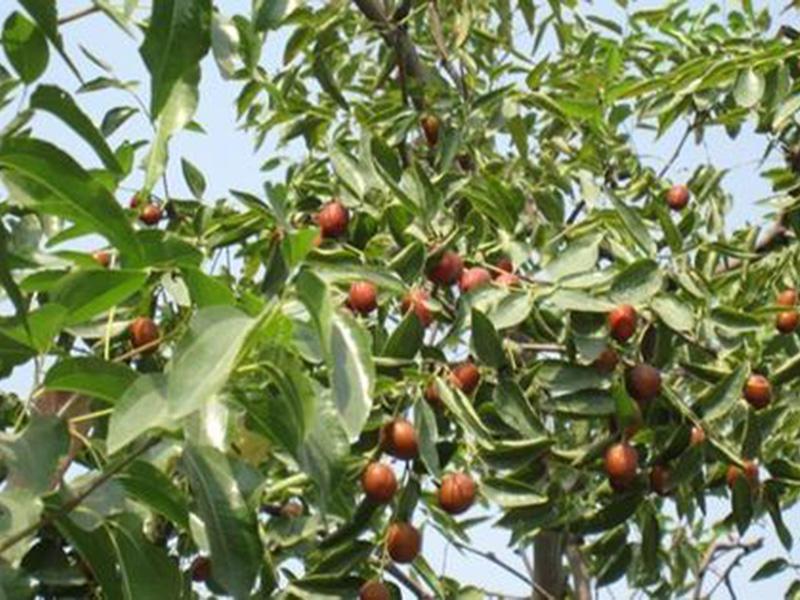 马牙枣树苗基地