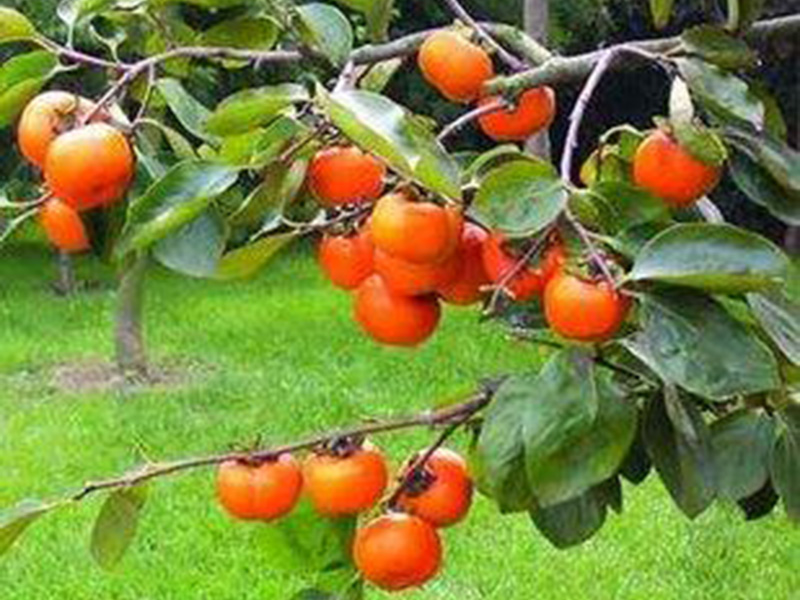 富有甜柿子苗基地