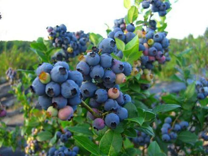 奥尔尼蓝莓苗基地