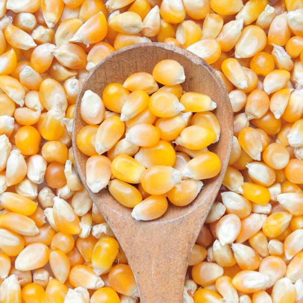 本公司常年大量出售饲料玉米,电话:13280757777  13356701666