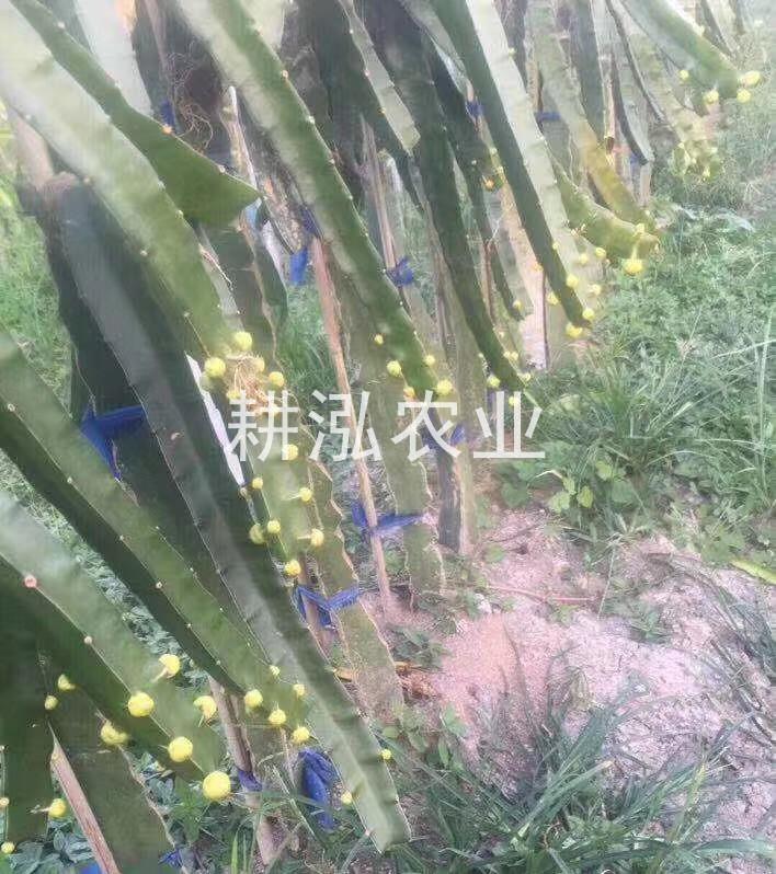 麒麟果果苗